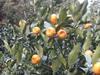 橘アールグレーティーとは
